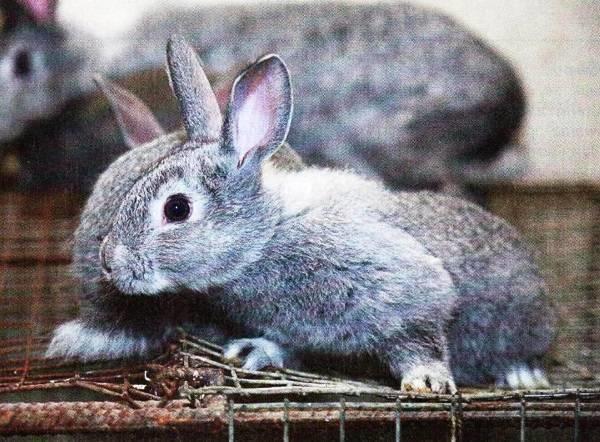 чем болеют кролики