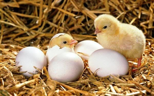 как выбрать цыплят
